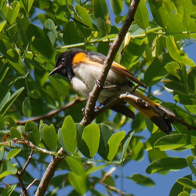 Ed Gaillard: birds &emdash; American Redstart, Prattsville NY