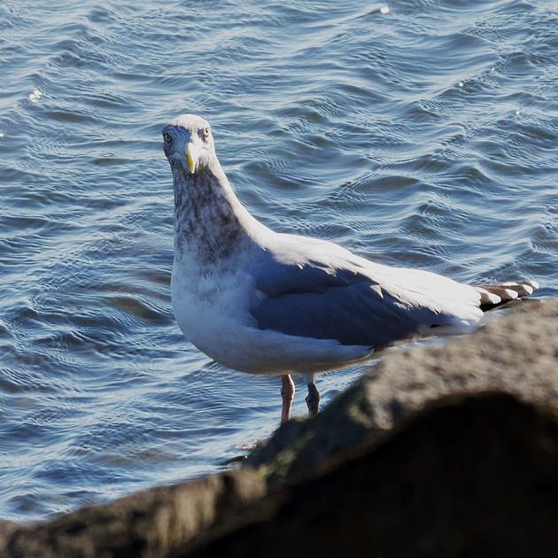 Ed Gaillard: recent &emdash; Herring Gull, Randall's Island