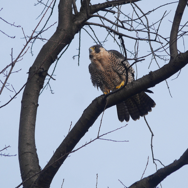 Ed Gaillard: birds &emdash; Peregrine Falcon, Central Park