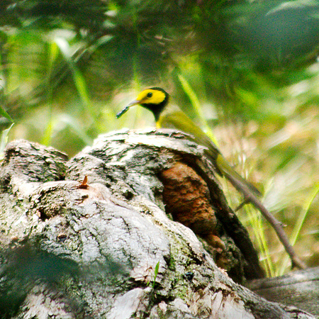Ed Gaillard: birds &emdash; Hooded Warbler, Central Park