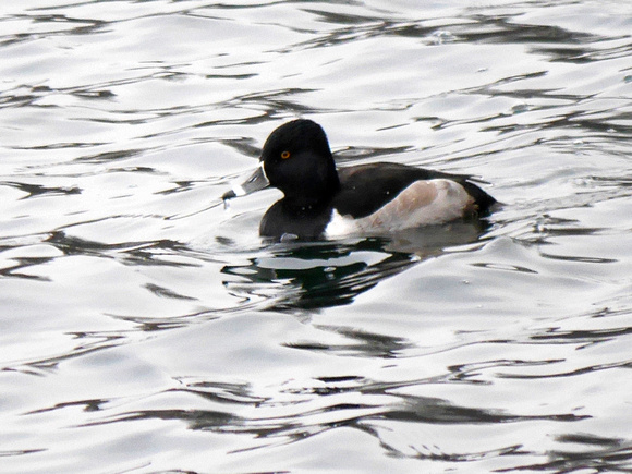 Ed Gaillard: birds &emdash; Ring-Necked Duck