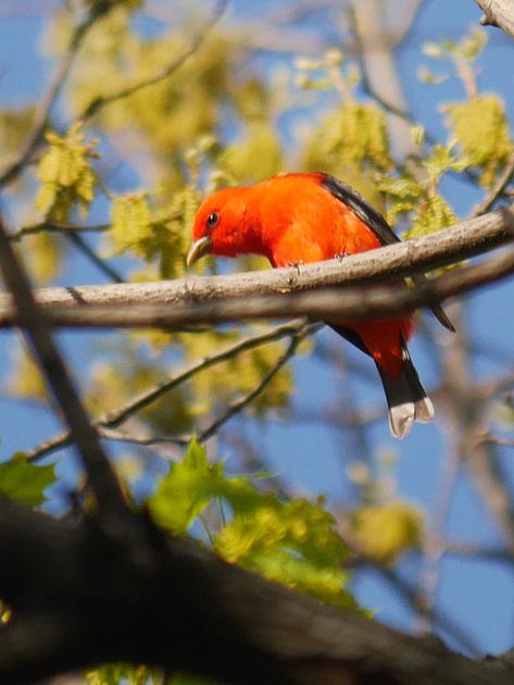 Ed Gaillard: recent &emdash; Scarlet Tanager, Central Park