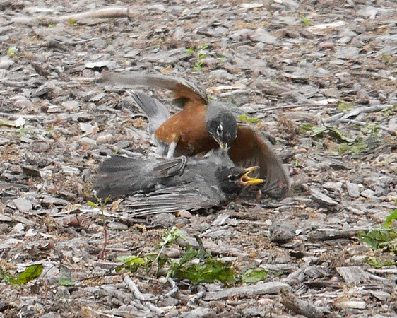 Ed Gaillard: birds &emdash; Robins fighting, Central Park