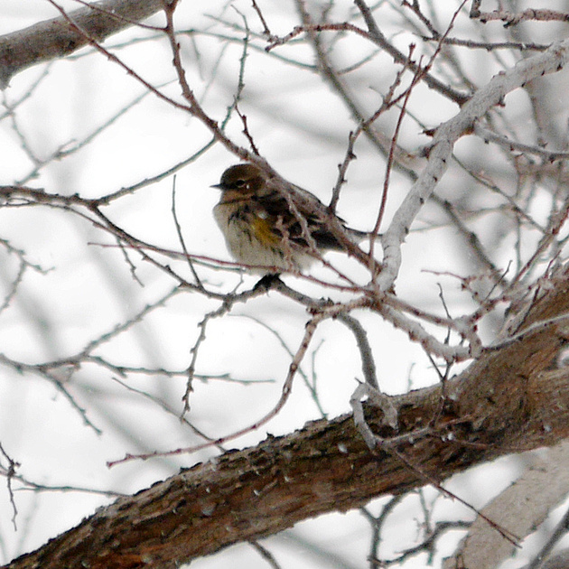 Ed Gaillard: birds &emdash; Yellow-Rumped Warbler in snow, Randall's Island