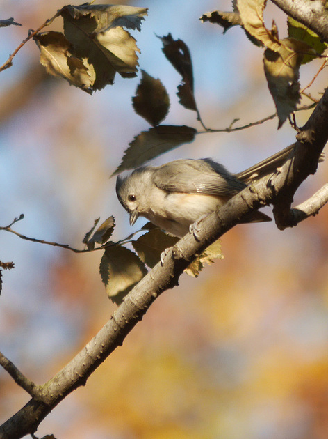Ed Gaillard: birds &emdash; Tufted Titmouse, morning light
