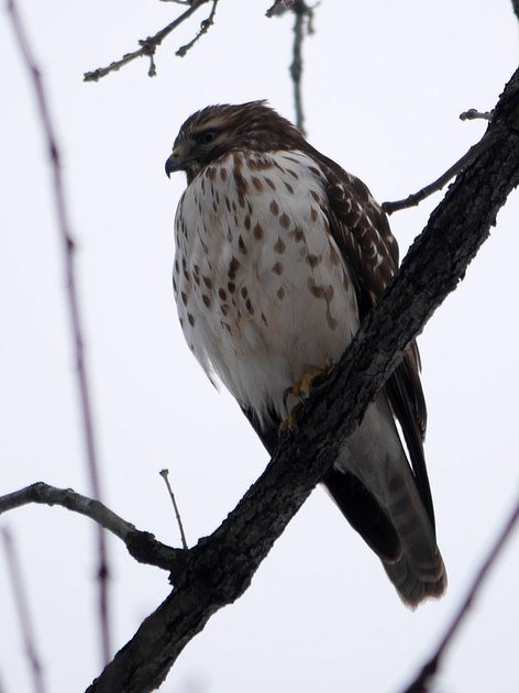 Ed Gaillard: birds &emdash; Unidentified Buteo, Central Park