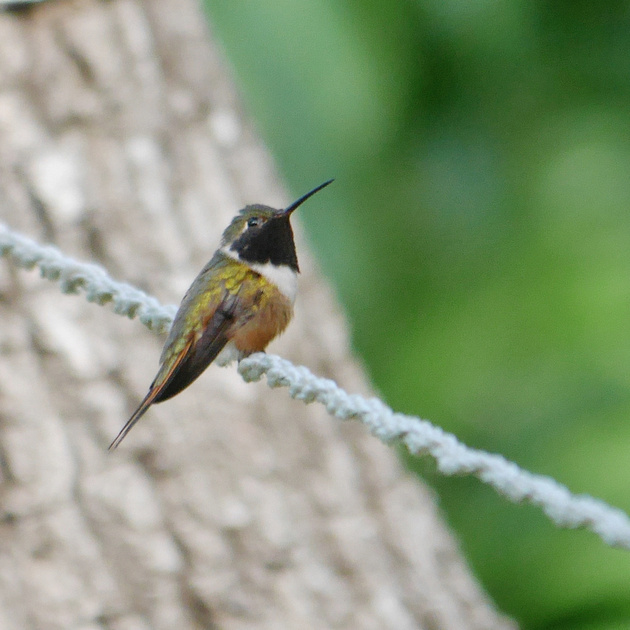 Ed Gaillard: birds &emdash; Bahama Woodstar, New Providence, Bahamas