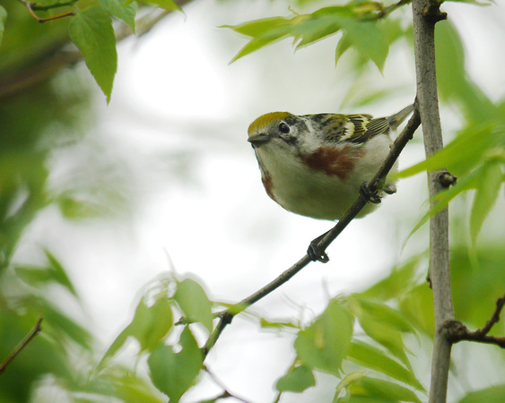 Ed Gaillard: birds &emdash; Chestnut-Sided Warbler, Central Park