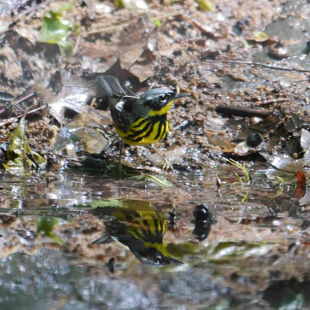 Ed Gaillard: birds &emdash; Magnolia Warbler, Tanner's Spring