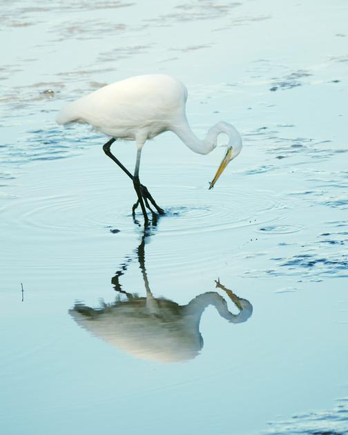 Ed Gaillard: birds &emdash; Great Egret fishing, Inwood Hill Park