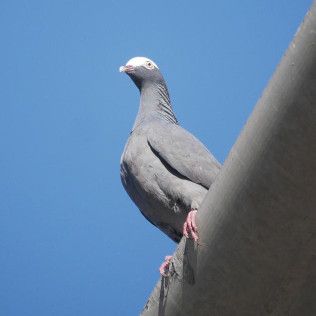 Ed Gaillard: birds &emdash; White-Crowned Pigeon, New Providence, Bahamas