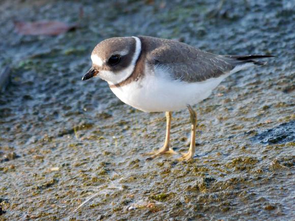 Ed Gaillard: birds &emdash; Semipalmated Plover, Jamaica Bay