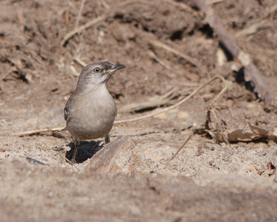 Ed Gaillard: birds &emdash; Northern Mockingbird, Central Park