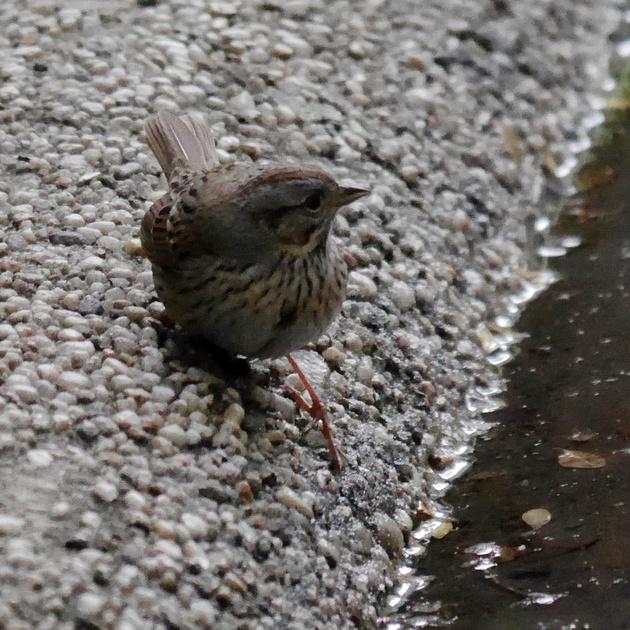 Ed Gaillard: birds &emdash; Lincoln's Sparrow, Bryant Park