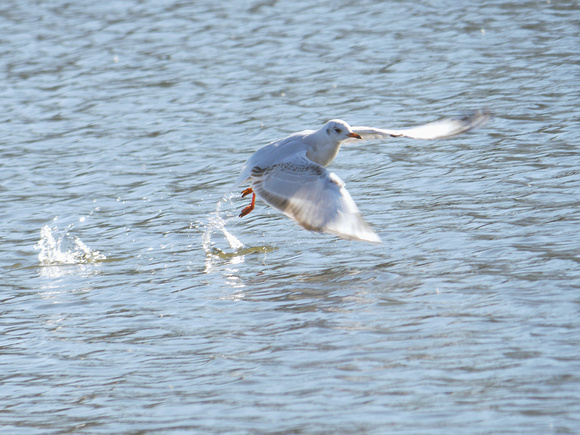 Ed Gaillard: birds &emdash; Black-Headed Gull, Prospect Park