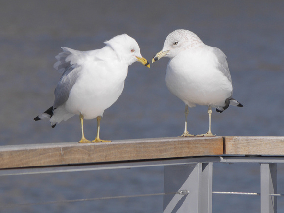 Ed Gaillard: birds &emdash; Ring-Billed Gulls, Muscota Marsh