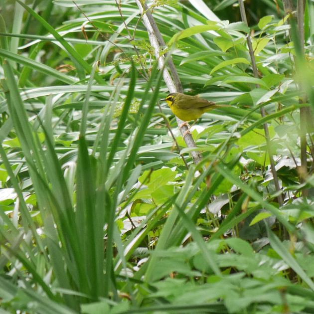 Ed Gaillard: birds &emdash; Kentucky Warbler, Central Park