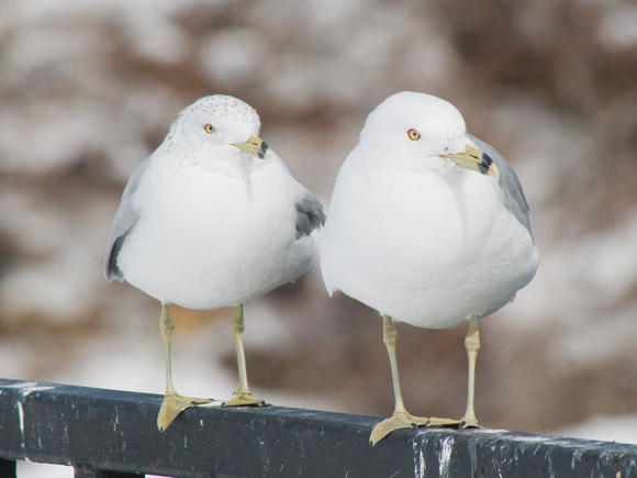 Ed Gaillard: birds &emdash; Ring-Billed Gulls, Hudson River at Dyckman Street