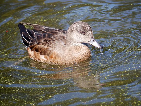 Ed Gaillard: birds &emdash; American Wigeon, Central Park