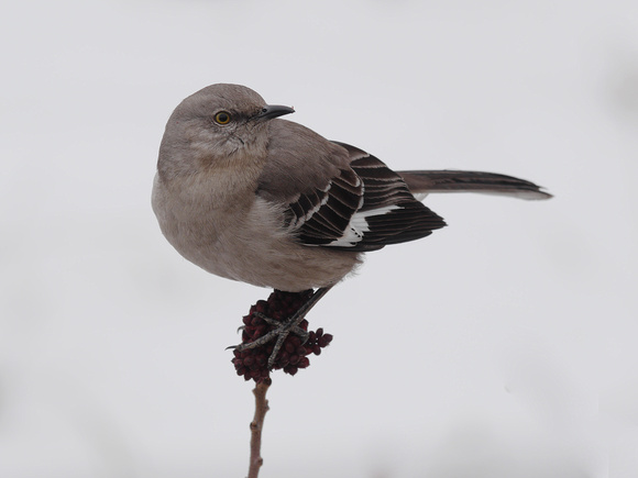 Ed Gaillard: birds &emdash; Northern Mockingbird, Randall's Island