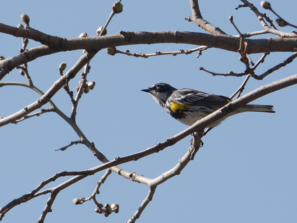 Ed Gaillard: recent &emdash; Yellow-Rumped Warbler, Central Park