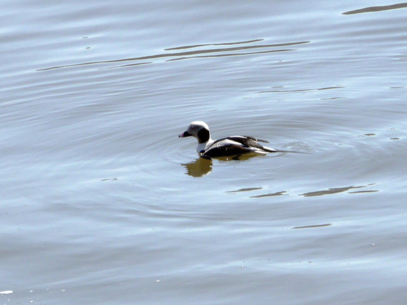 Ed Gaillard: birds &emdash; Long-Tailed Duck, Harlem River