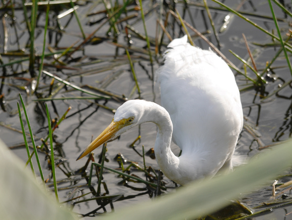 Ed Gaillard: birds &emdash; Great Egret, Green Cay
