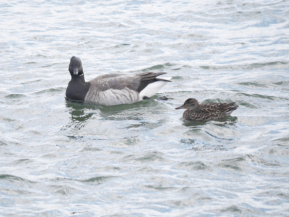 Ed Gaillard: birds &emdash; Brant and Green-Winged Teal, Randall's Island