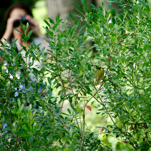 Ed Gaillard: birds &emdash; Hooded Warbler and birder, Central Park