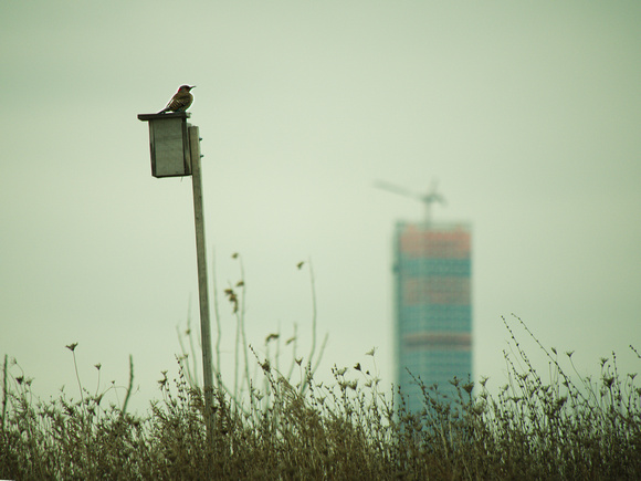 Ed Gaillard: birds &emdash; Northern Flicker, Randall's Island