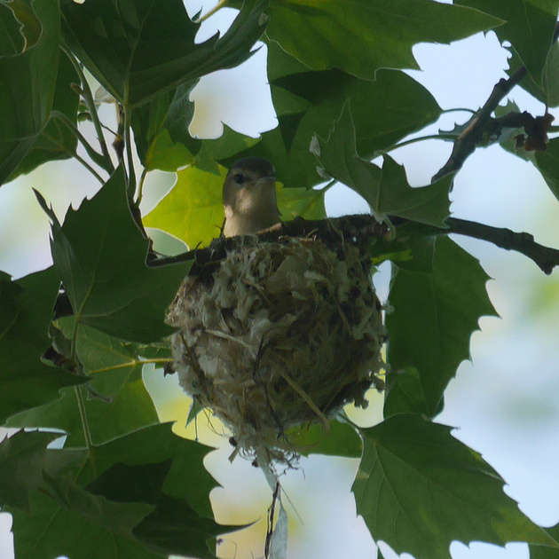 Ed Gaillard: birds &emdash; Warbling Vireo on nest, Central Park
