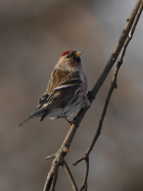 Ed Gaillard: birds &emdash; Common Redpoll, Central Park