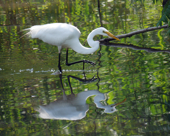 Ed Gaillard: birds &emdash; Great Egret, The Pond, Central Park