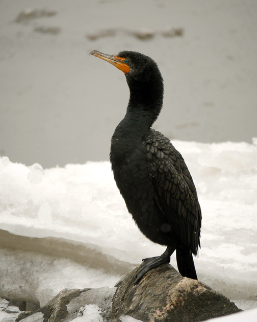 Ed Gaillard: birds &emdash; Double-Crested Cormorant, Inwood Hill Park