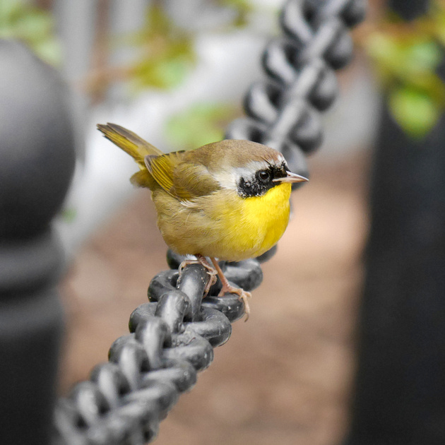 Ed Gaillard: recent &emdash; Common Yellowthroat, City Hall Park
