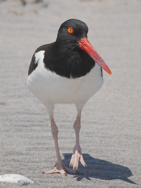 Ed Gaillard: birds &emdash; American Oystercatcher, Fort Tilden, Queens
