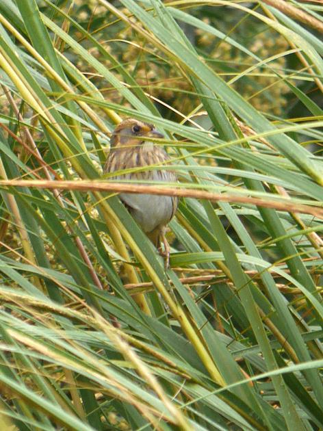 Ed Gaillard: birds &emdash; Nelson's Sparrow, Randall's Island