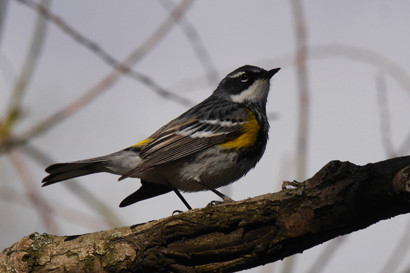 Ed Gaillard: birds &emdash; Yellow-Rumped Warbler, Central Park