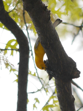 Ed Gaillard: birds &emdash; Prothonotary Warbler, Madison Square Park