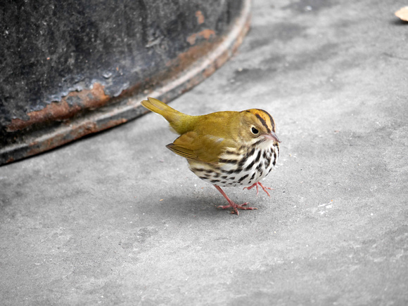 Ed Gaillard: recent &emdash; Ovenbird,  City Hall Park