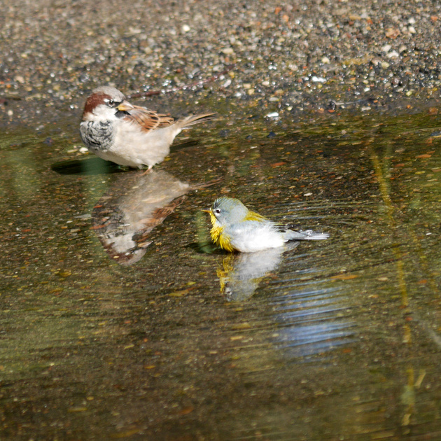 Ed Gaillard: birds &emdash; Bathing Northern Parula warbler and House Sparrow