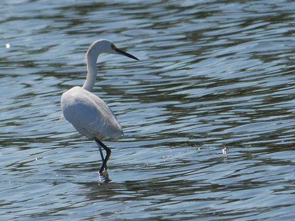 Ed Gaillard: birds &emdash; Snowy Egret, Jamaica Bay