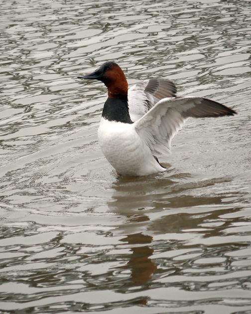 Ed Gaillard: birds &emdash; Canvasback, Spuyten Duyvil Creek