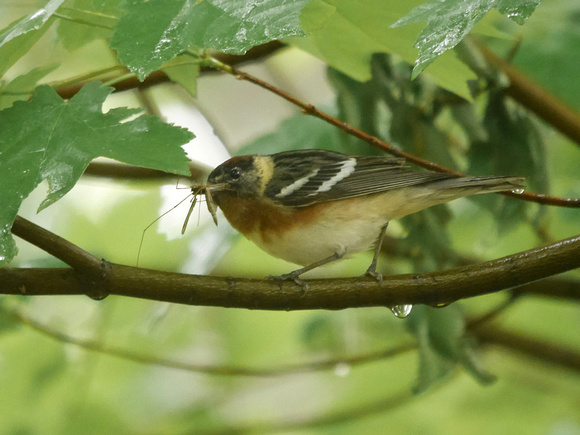 Ed Gaillard: birds &emdash; Bay-Breasted Warbler at luncheon