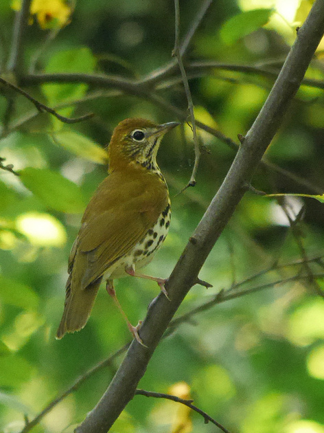 Ed Gaillard: birds &emdash; Wood Thrush, Central Park