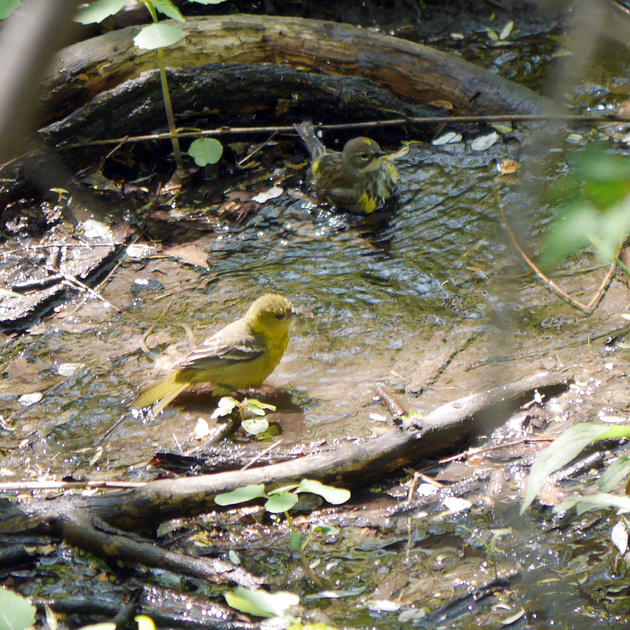 Ed Gaillard: birds &emdash; Orchard Oriole bathing with a Yellow-Rumped Warbler
