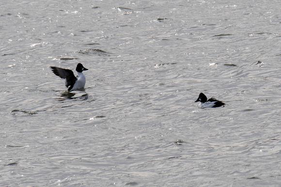 Ed Gaillard: birds &emdash; Common Goldeneyes, Randall's island