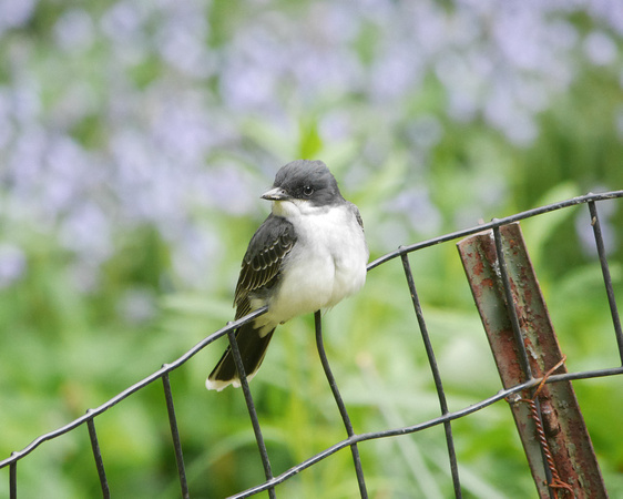 Ed Gaillard: birds &emdash; Eastern Kingbird, Central Park