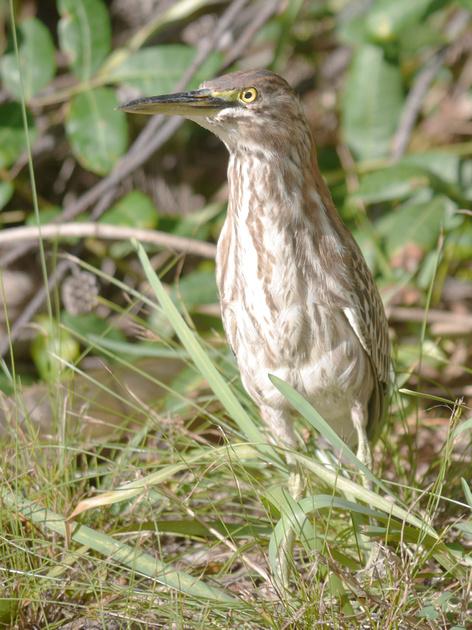 Ed Gaillard: birds &emdash; Green Heron, New Providence, Bahamas