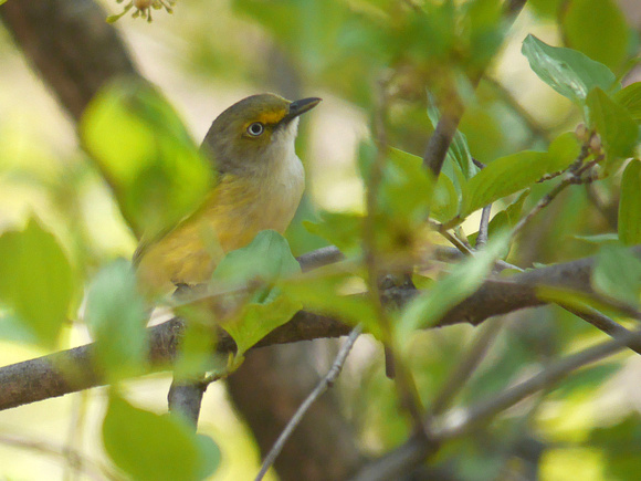 Ed Gaillard: birds &emdash; White-Eyed Vireo, Central Park